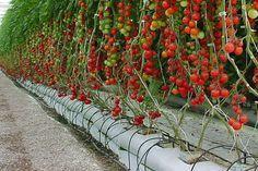 cultivo em hidroponia,curso hidroponia,hidropônicos,cultivo de hidroponia,cultivar em hidroponia: Tomates hidroponia