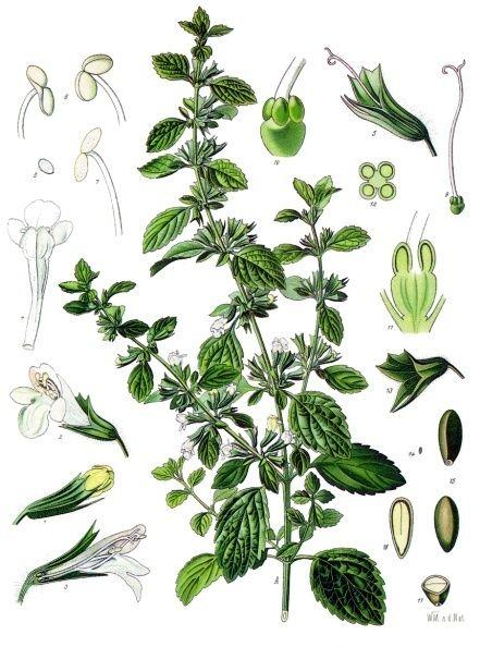 Melissa officinalis - Köhler–s Medizinal-Pflanzen-094 - Mélisse officinale — Wikipédia