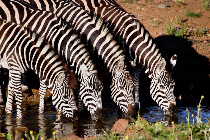 Pilanesberg-Day-Trip-Wild-Eye-11-of-12.jpg (800×533)