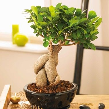 ficus microcarpa ginseng 183 pinterest. Black Bedroom Furniture Sets. Home Design Ideas