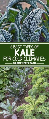 Kale can do very well in the coldest temperatures. See which varieties are best-suited for late fall and early winter gardens. Get growing tips for a longer harvest in our cold-weather kale growing guide on Gardener�s Path.