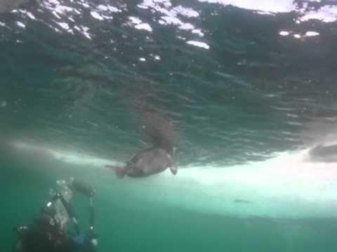 Бельки Байкала. Baikal seal pup