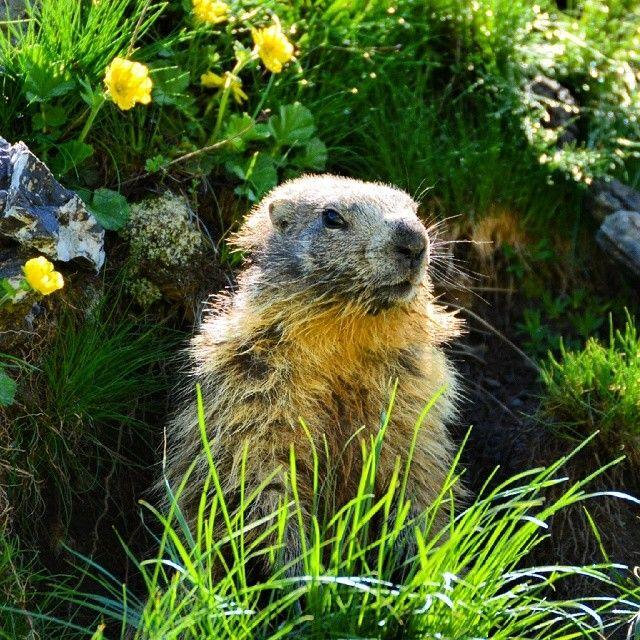 En début d'été, la marmotte d'été se laisse approcher facilement... :-) #Vars #VarsFob #MyHautesAlpes #TourismePACA #Marmotte #Montagne