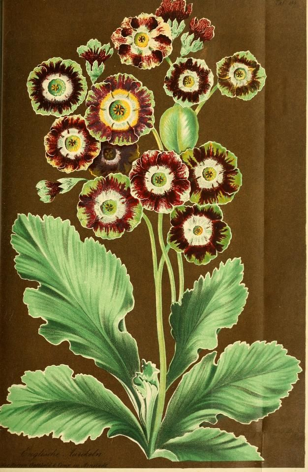 primrose Floral illustration from Gartenflora, c.1855.