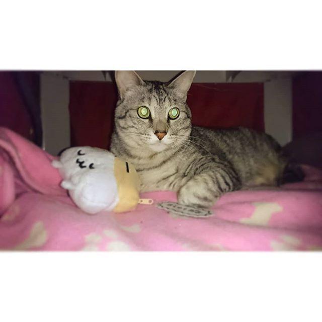 * . 昨夜から血尿になってしまった マグロ君(泣) 今日は朝一で病院へ。 膀胱炎の注射を2本打って頂いて、 投薬5日間。 ごめんねマグ。 ババア頑張るから、膀胱炎完治させようね! . . #宝物はホタテのポーチ#猫の膀胱炎 #猫#cat#元野良猫#多頭飼い#愛猫 #にゃんすたぐらむ#ニャンスタグラム #猫と暮らす#猫のいる暮らし #息子猫#マグロ君#maguro#巨体#巨猫#bigcat #甘えん坊#優男