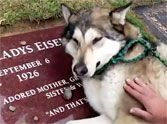 Heartbroken Loyal Dog Cries on Owners Grave - Incredibly Touching  Pets have more emotion than most people give them credit for. My dog can even sense my moods. Amazing! Her empathy is such that she came running and was visibly concerned when I played just this very short clip and wanted to know what was going on. I hope whoever takes on the care of this sweet baby gives her tons of love! <3