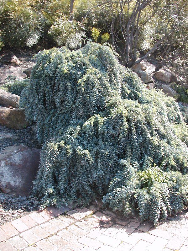 Acacia baileyana prostrate
