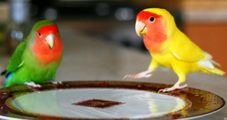 papagali agapornis - Căutare Google