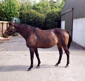 Lovely Listed Winning Broodmare Miss Moses For Sale   ParadeRing Horse Sales