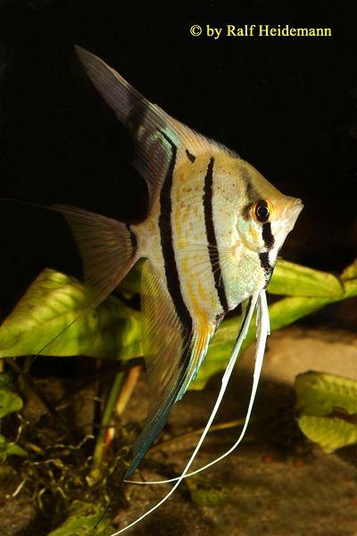 10 images about aquarium maanvissen angelfish on for Peru altum skalar
