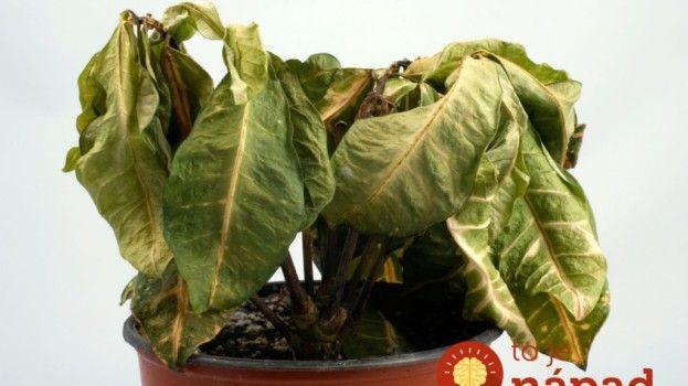 Našli ste izbové rastliny v zúboženom stave? Ak urobíte TOTO, môžete ich…