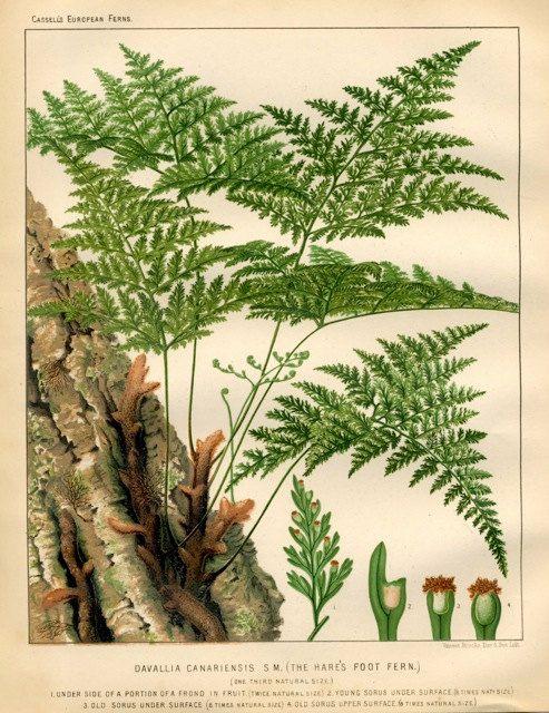 1880 ferns grasses original antique botanical fern plant print - hare's foot fern. 32.50, via Etsy.