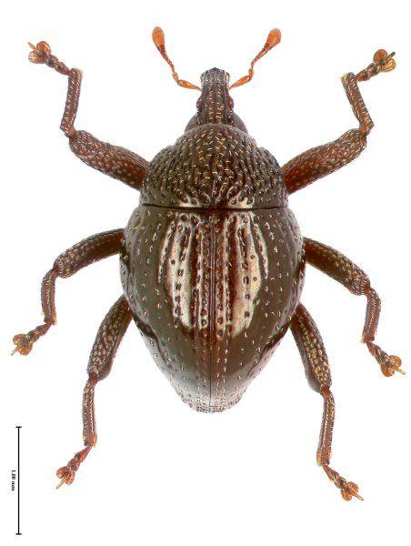 Trigonopterus disruptus kommt mit zwei getrennten Populationen auf der Insel...