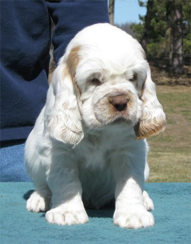 Clumber Spaniel puppy; they look like a cross between a Basset Hound and a Cocker Spaniel.