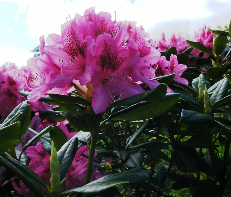 Unidentified Rhododendron growing in a garden in Co. Kerry