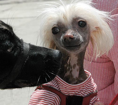 I want a Chinese crested soooooo badlyyy!!!! He would fit in perfect with the our two pit bulls & doxie!