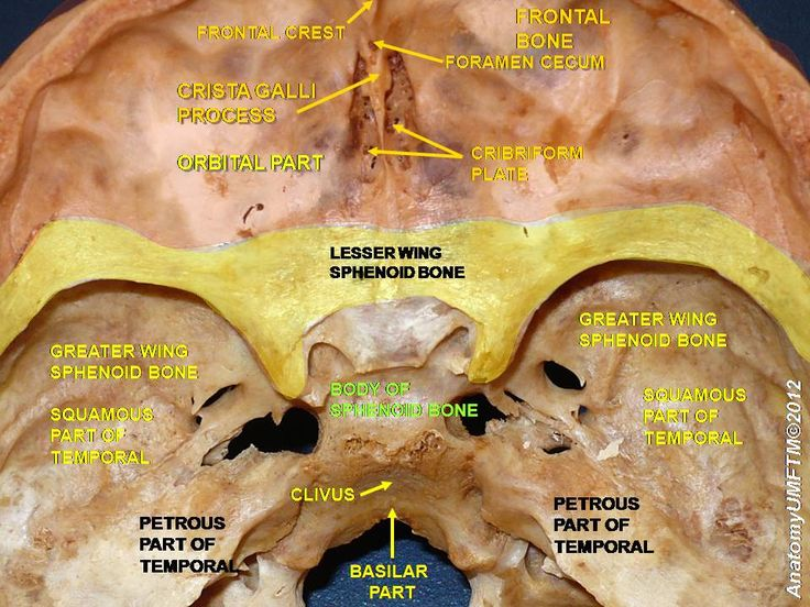 25+ best ideas about sphenoid bone on pinterest | anatomy bones, Human Body