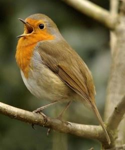 pretty pretty robin