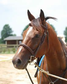 Adopt Me! Available Horses for Adoption at MidAtlantic Horse Rescue