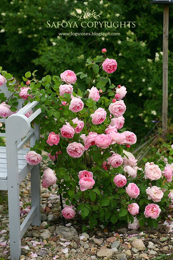 'Constance Spry' rose
