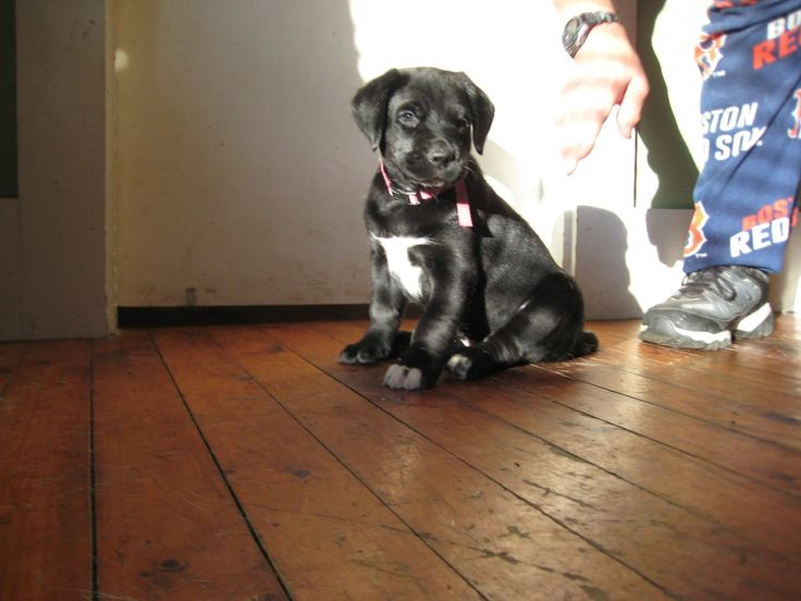 Lab x Border Collie Puppy for sale! CLICK THE LINK to connect directly with the breeder / seller of this puppy! #bordercollie #labradorretriever #bordercollielab #labmix #bordercolliemix