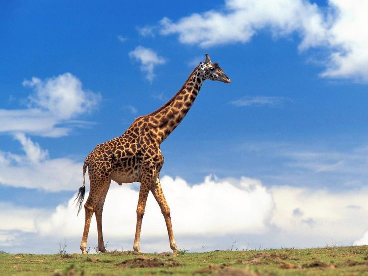 11 Funny and Interesting Facts About Giraffe - TurtleHurtled