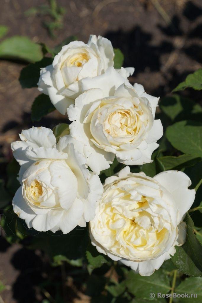 1955 best images about rosen englische rosen david austin co on pinterest white roses. Black Bedroom Furniture Sets. Home Design Ideas
