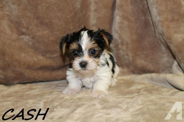 Super Cute 6 wk old Parti Yorkies For Sale **4 Males** for Sale in Leander, Texas Classified | AmericanListed.com