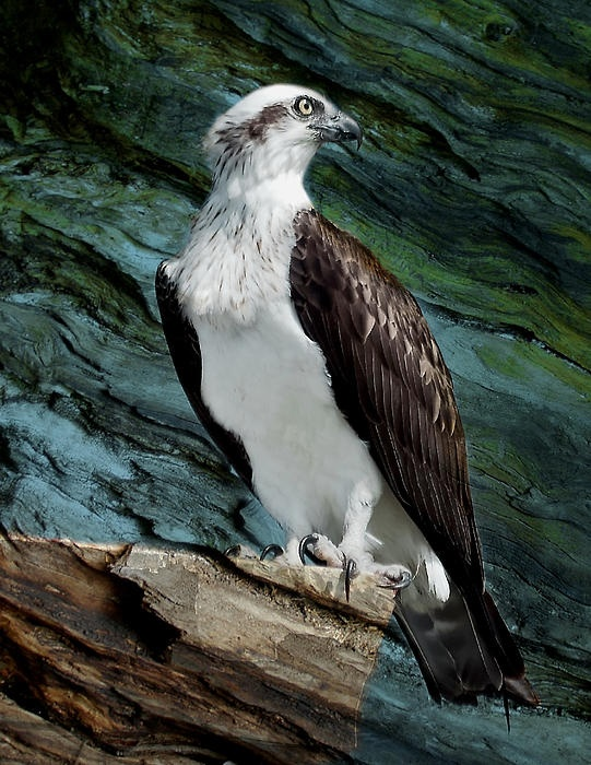 A beautiful Osprey photographed at Rottnest Island,Western Australia.