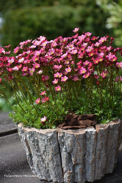 SAXIFRAGA ARENDSII (Steinbrech) Requires a cool, moist location. Dislikes drought and hot, humid summer weather. Trim lightly after flowering to remove the flower stems Back Yard Containers 2014