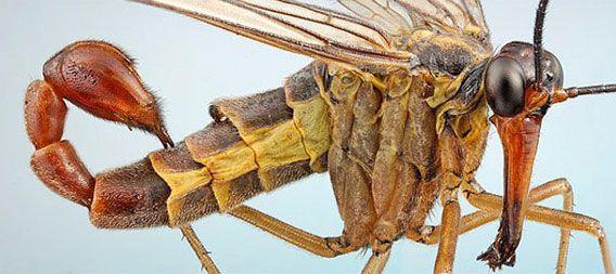 サソリの尻尾に鳥のクチバシのような長い口。母なる自然は凄い創造物を生み出したもんだぜ。生きた化石昆虫「シリアゲムシ」