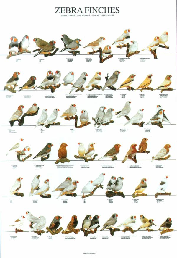 Different types of Zebra Finch mutation poster from LGF