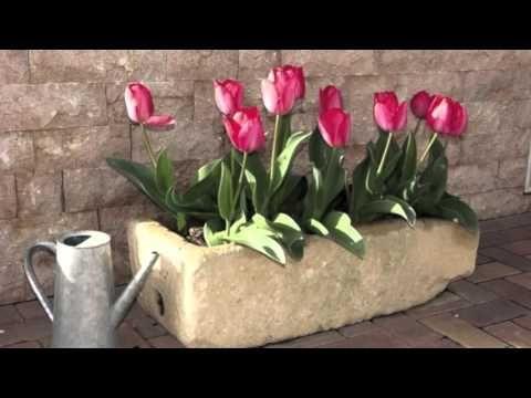 Cómo cuidar tulipanes - YouTube