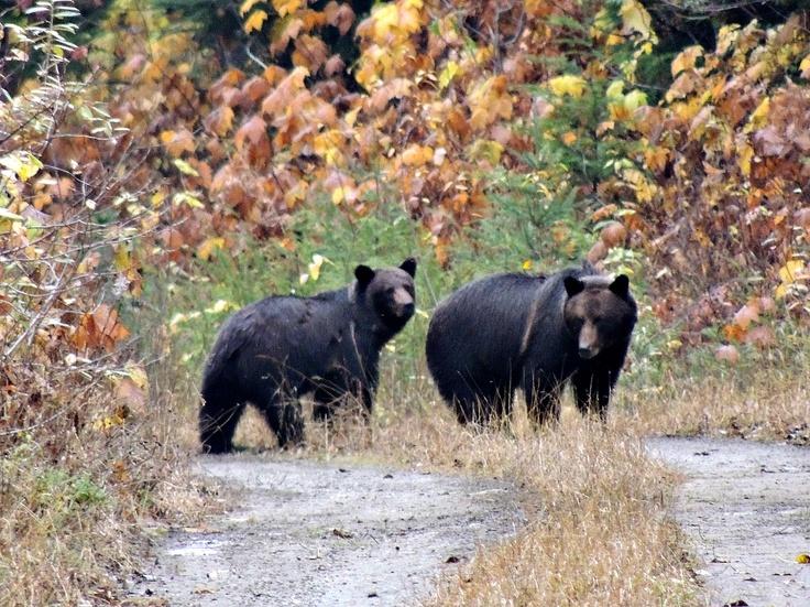 Two Black Bears