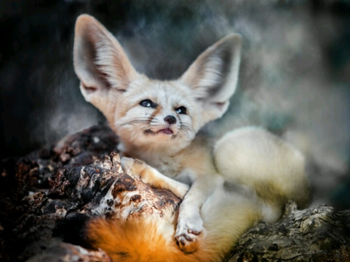 1000 images about fennec foxes on pinterest - Pagina da colorare fennec fox ...