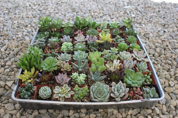 "2"" Assorted Succulents bulk wholesale wedding Favor gifts at the succulent source - 1"