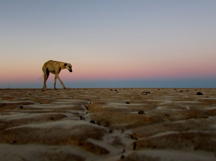 """South African Greyhound, also known as the """"Boerwindhond"""". Notice the arched back and deep chest. Photographed on Verneukpan in the arid west of South Africa."""