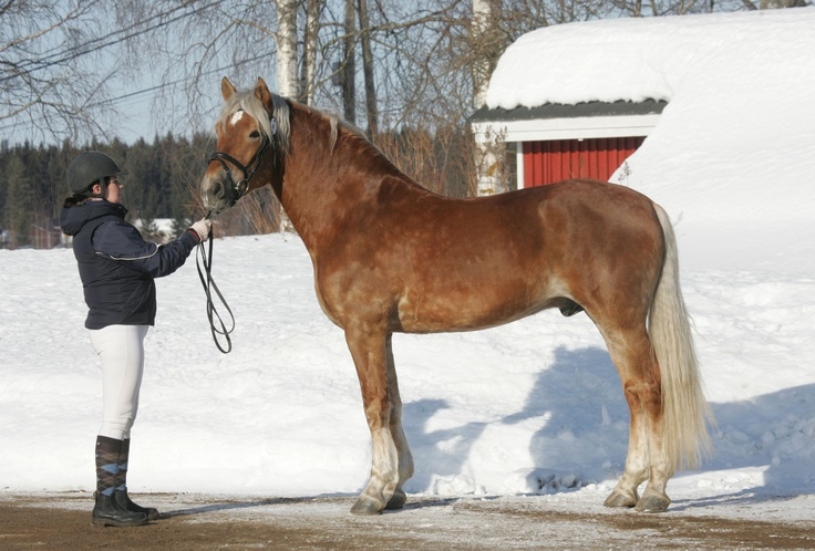 Veeran Taaveri, riding-type Finnhorse stallion