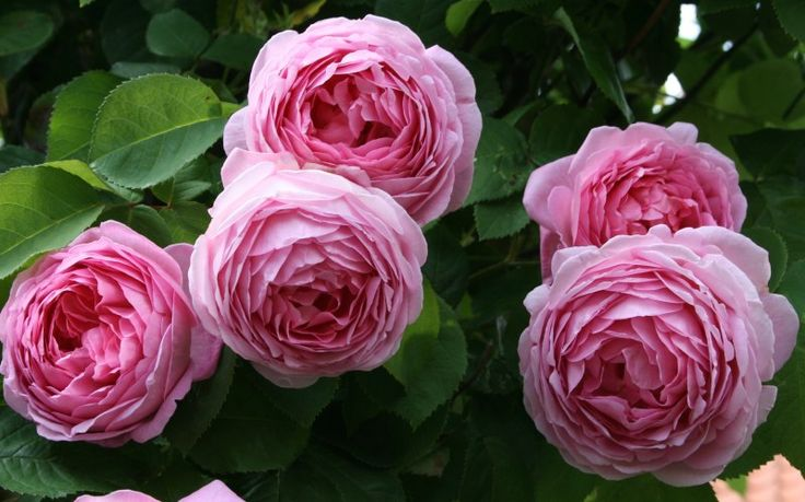 English rose, 'Constance Spry'