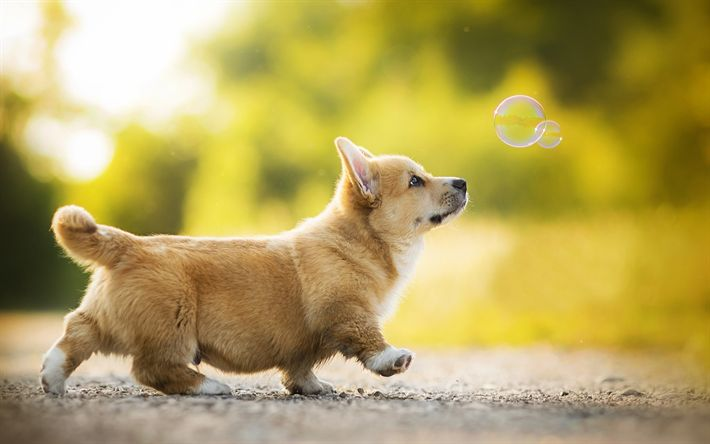 Hämta bilder Welsh Corgi, valp, bubblor, hundar