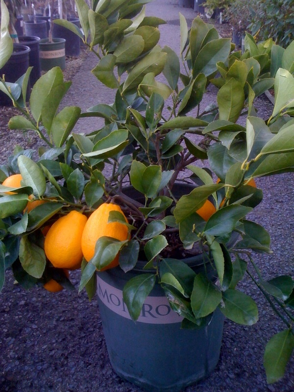 Take advantage of Monrovia Nursery's growing expertise and take possession of this superb specimen.  This 'bush' form will start you on the road to fruit a little lower to the ground than typical topiary configurations.  However you begin on the road to fresh Meyer lemons, fragrant blossoms are an often overlooked part of the equation, a delightful perfume filling your home.  Thin skinned juicy fruit will follow, eventually year round.  Different than conventional lemons in that the taste is…