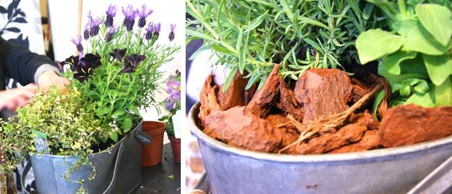 Det doftar om planteringen med fjärilslavendel, citrontimjan och svart petunia. Bra tips att använda täckbark i krukan.