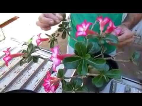 Experiencia Poda Radical no Caudex de Rosa do Deserto - radical pruning in desert rose caudex - YouTube