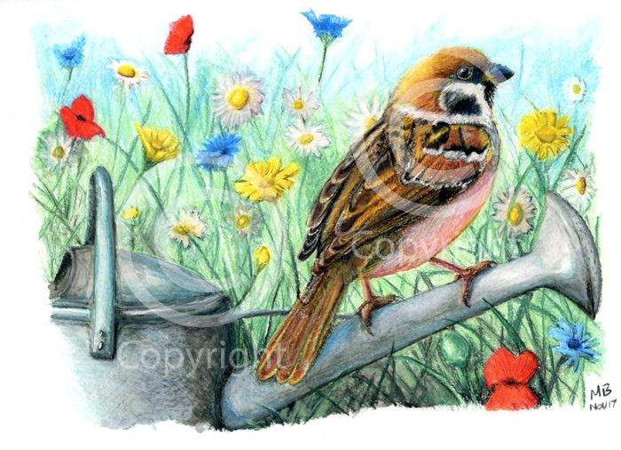 Tree Sparrow, British Garden Bird, in watercolour pencils - A tree sparrow perched on a watering can amongst wild flowers. Hand-drawn as part of my British Garden Birds collection, I created this artwork using watercolour pencils. This drawing was created on watercolour paper using Derwent watercolour pencils.