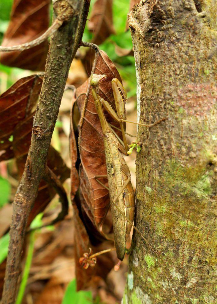 Gottesanbeterin, Hoplocorypha - Elfenbeinküste