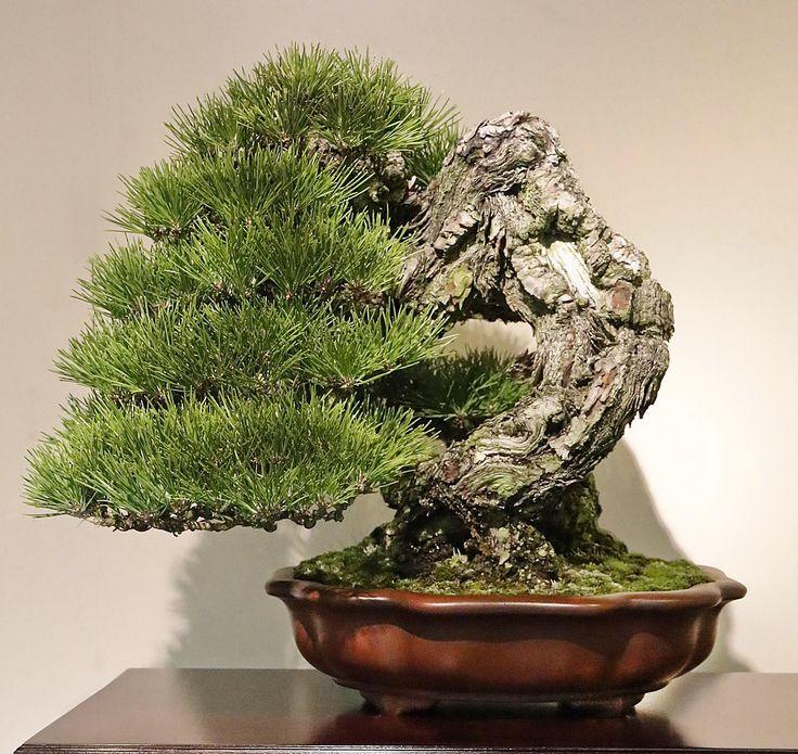 die besten 17 bilder zu bonsai b ume auf pinterest. Black Bedroom Furniture Sets. Home Design Ideas