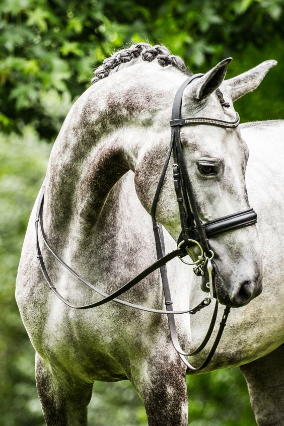 Stunning 7 years old PSG dressage gelding for sale. Hästar säljes