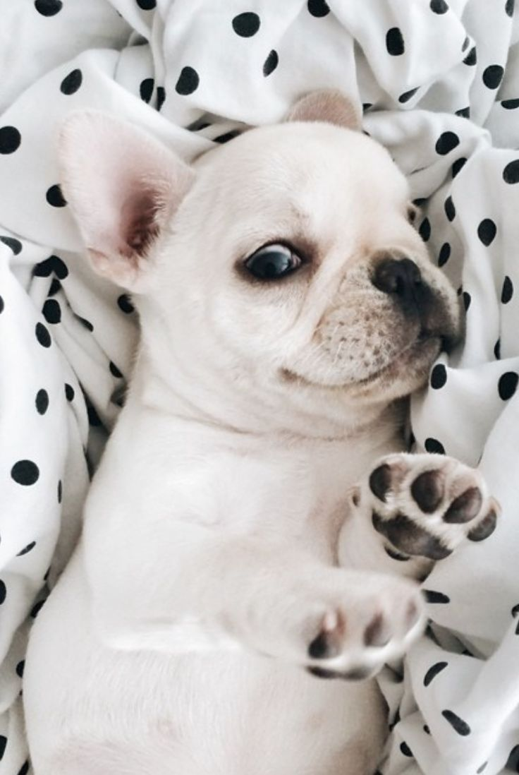 16 Reasons French Bulldogs Are The Worst Indoor Dog Breeds Of All