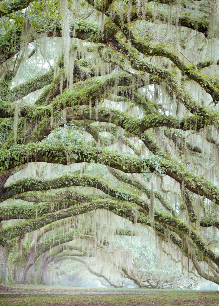 Resurrection Fern and Spanish Moss Living on Oak Limbs, near Charleston, SC
