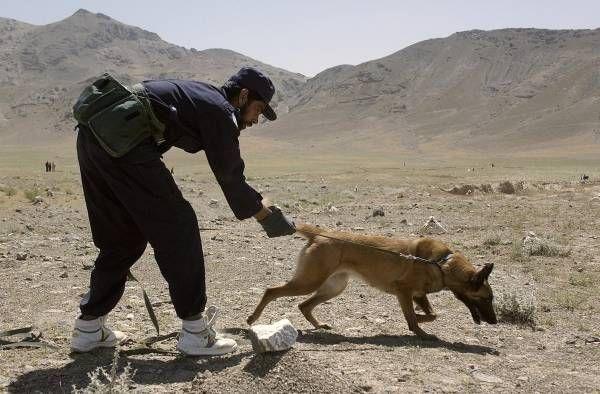 アフガニスタン・カブール郊外の村で、地中に埋められた地雷を探す犬と探索官(2002年05月29日) 【AFP=時事】